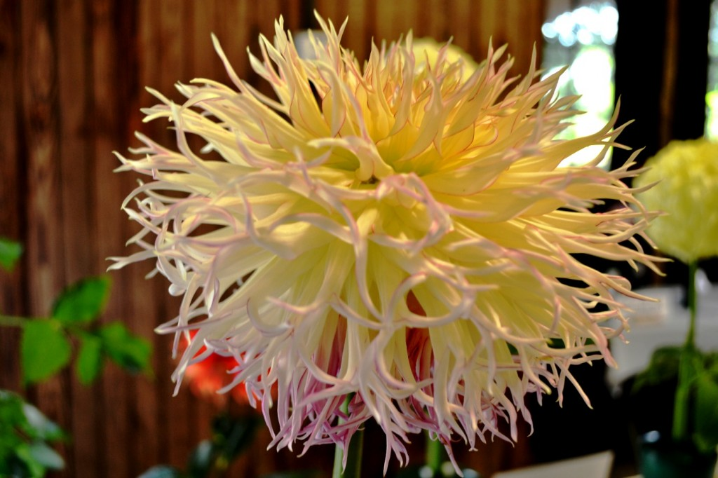 pale yellow dahlia with pink tinges