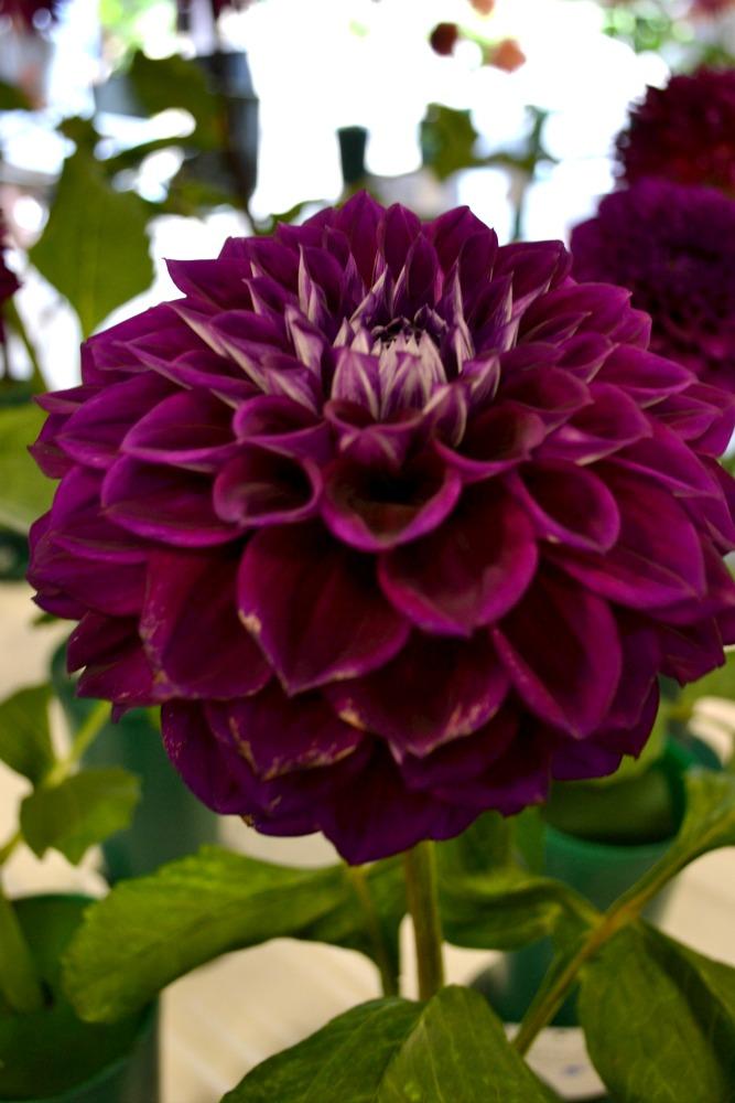 Purple Dahlia from the Long Island Dahlia Society show