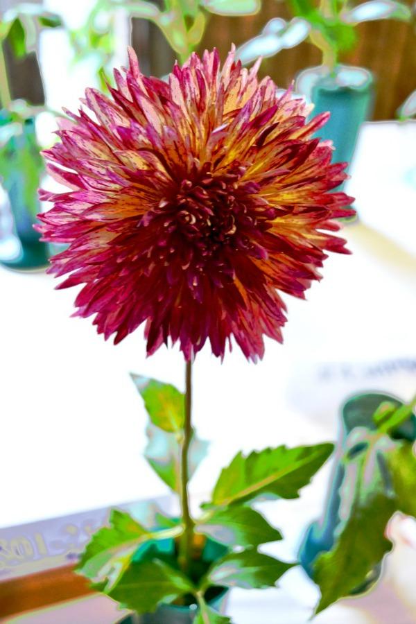 Beautiful variegated Dahlia