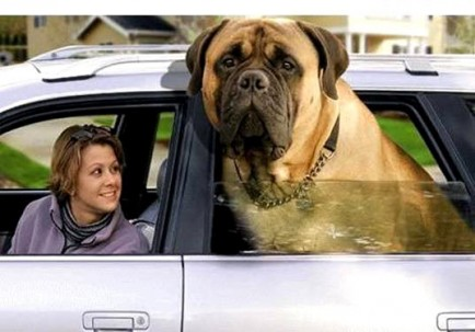 Englsi Mastiff driving