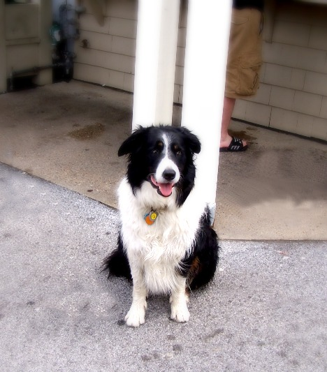 Tobey the Border Collie in Montauk