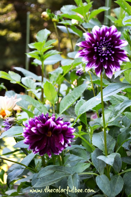 deep purple dahlias