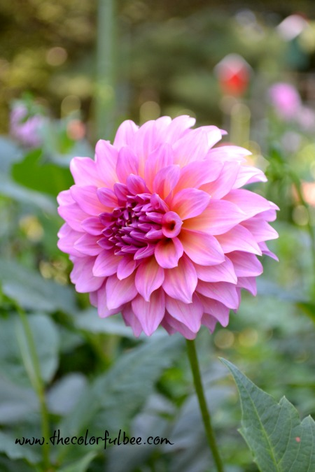beautiful fuschia colored dahlia