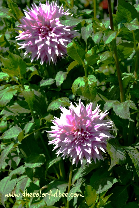 light fuschia colored dahlias